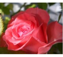 Эфирное масло Розы 10 г.