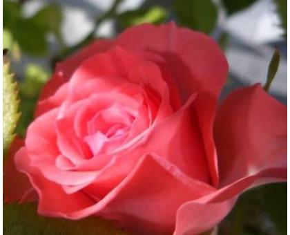 Эфирное масло Розы 10 мл.