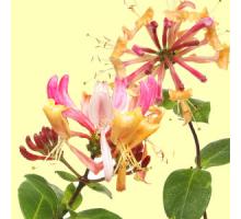 Жимолость (Honeysuckle) Ароматическое масло