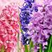 Гиацинт (Hyacinth) Ароматическое масло