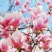 Магнолия в цвету (Magnolia in Bloom) Ароматическое масло